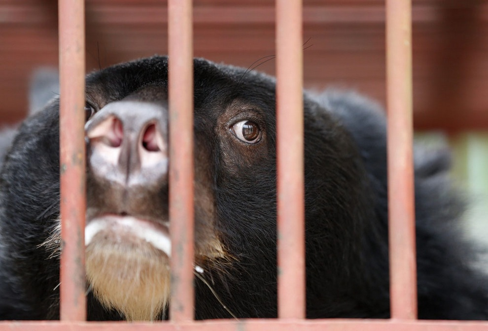 Белогрудый медведь, который был спасен из рук браконьеров в Ханое, Вьетнам. Их отлавливают из-за медвежьей желчи — ценного лечебного средства в традиционной китайской и вьетнамской медицине. (EFE/BARBARA WALTON)