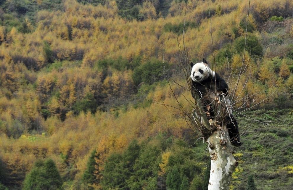 Большие панды возвращаются домой (3 фото)