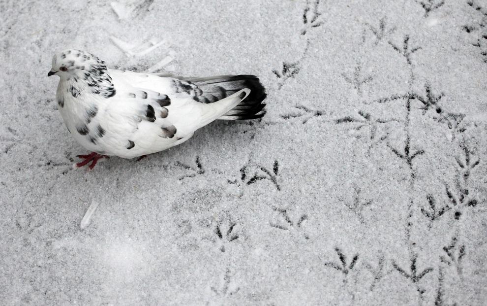 Голубь оставляет следы на только что выпавшем снегу в Красноярске, Красноярский край, Россия. (REUTERS/Ilya Naymushin)