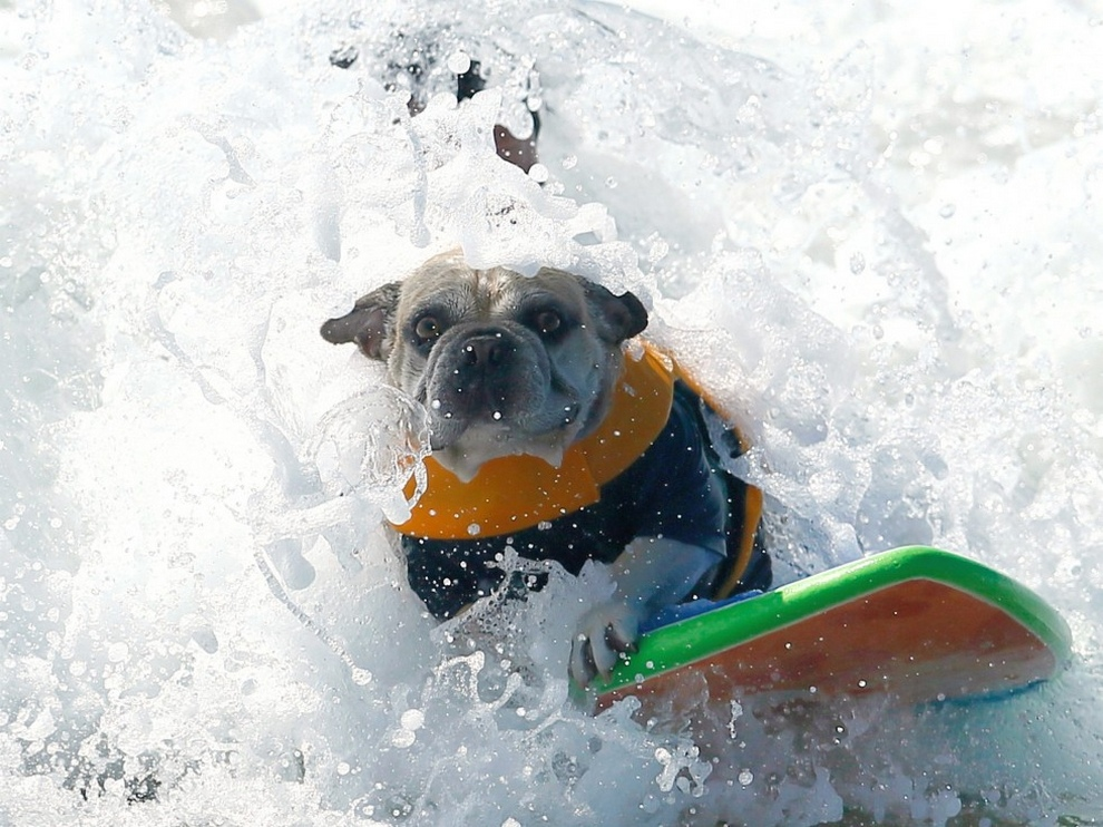 Собаки на сёрфе (24 фото)