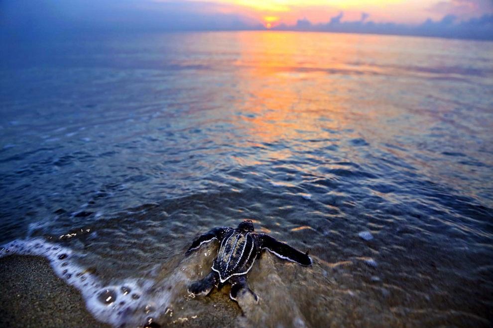 Детеныш кожистой черепахи направляется в океан на пляже Джуно-Бич, штат Флорида, США. Эти черепахи являются самыми большими морскими черепахами в мире — длина их тела может достигать 2,5 метров, вес — 600 кг, размах передних ласт — до 5 м. (Greg Lovett/The Palm Beach Post)