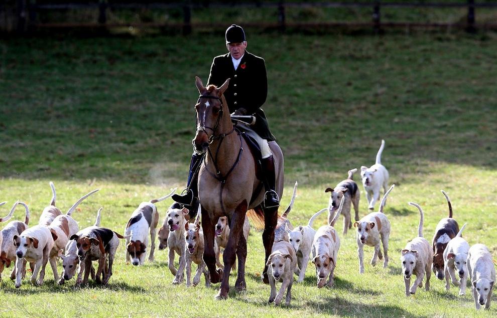 Охотник с английскими фоксхаундами прибывает на «первую охоту сезона» близ Бадминтона, Южный Глостершир, Англия. (Matt Cardy/Getty Images)