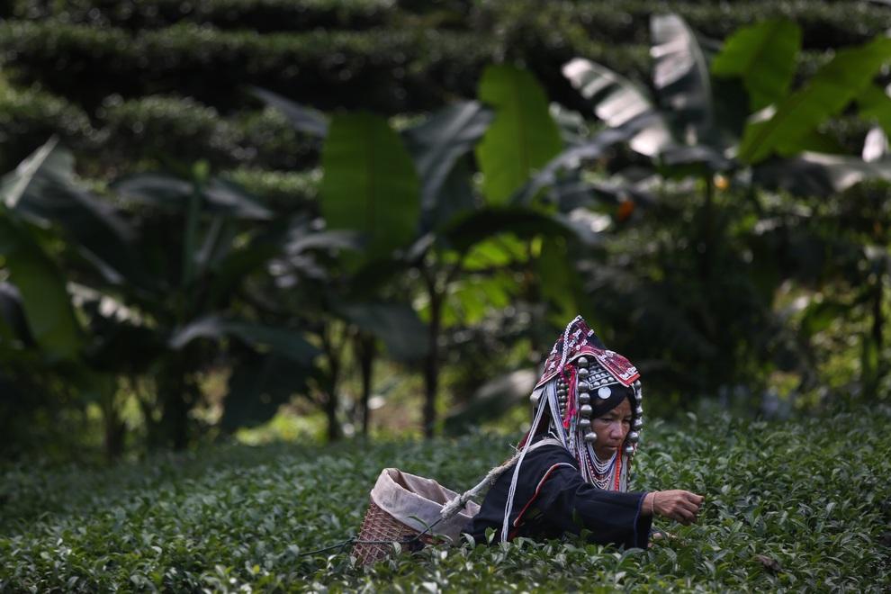 Женщина народности акха собирает урожай чая улун на ферме Сувирун, провинция Чианграй, Таиланд. (Paula Bronstein/Getty Images)