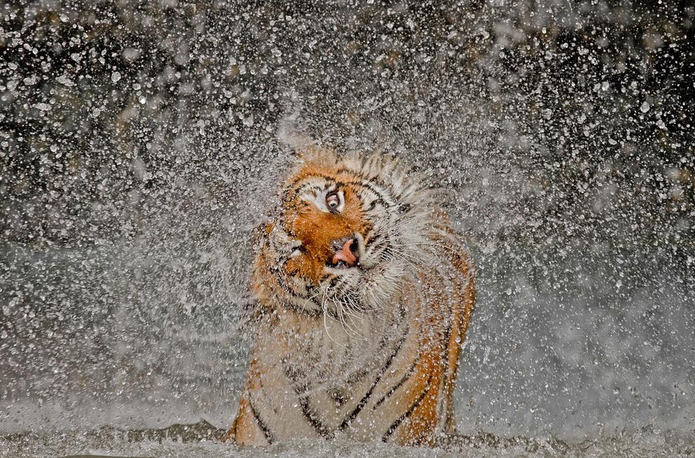 Взрыв! Ее зовут Бусаба — это индокитайская тигрица, живущая в зоопарке Као-Кео, Таиланд. (Ashley Vincent/National Geographic Photo Contest)