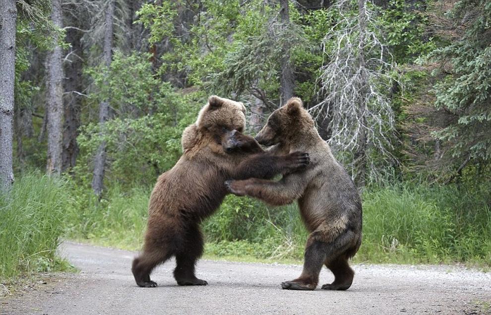 Медвежий конфликт (8 фото)