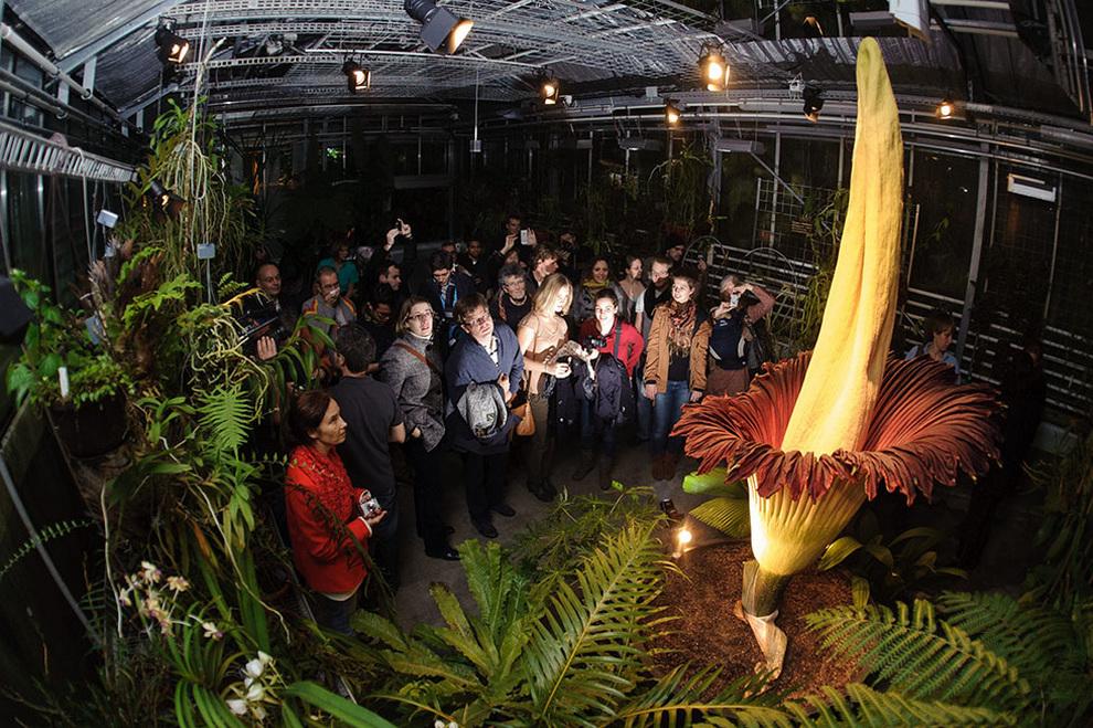 Самый большой в мире цветок с запахом разлагающейся плоти (3 фото)