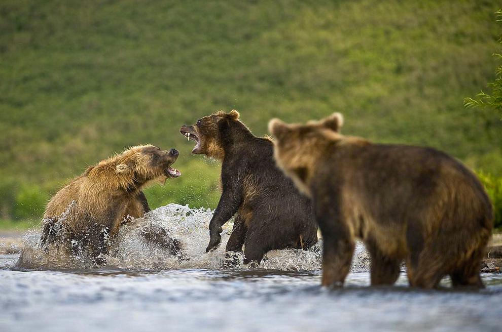 Медведи дерутся за рыбу. (Sergey Gorshkov)
