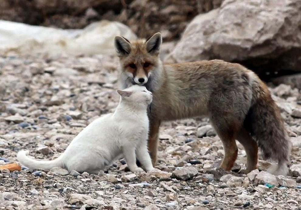 Кот и лисица на берегу озера Ван, Турция. (Milliyet)