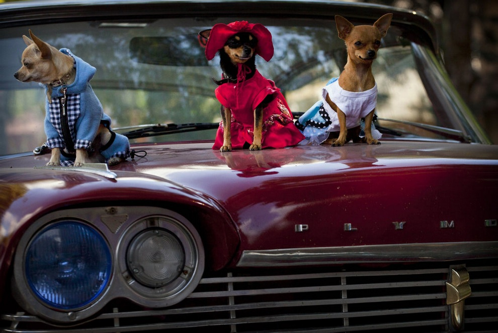 Осенняя выставка собак на Кубе (13 фото)