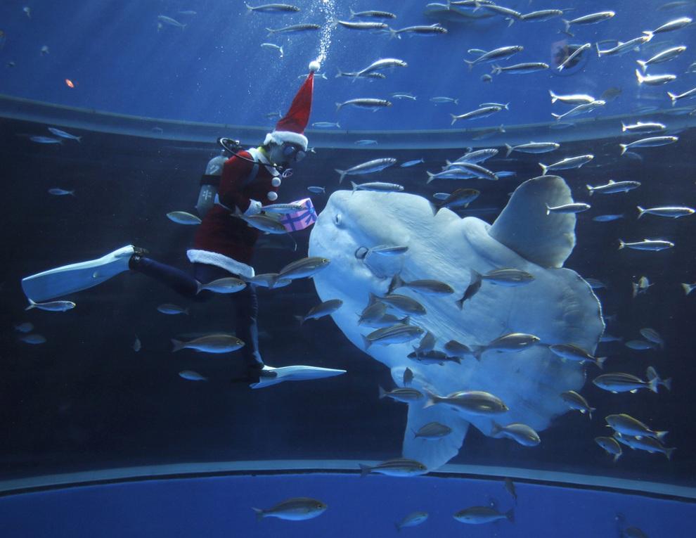 Дайвер в костюме Санта-Клауса кормит большую луну-рыбу в аквариум-парке «Морской рай Хаккэйдзима», Йокогама, Япония. (REUTERS/Yuriko Nakao)