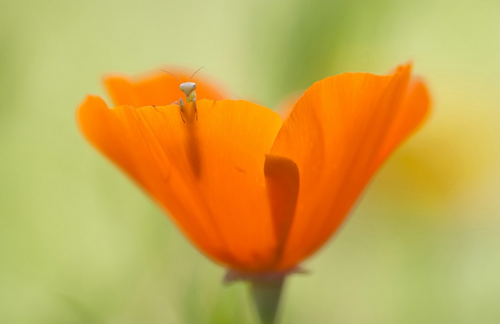 Недавно вылупившийся из яйца богомол в цветке мака. (Fabien Bravin/National Geographic Photo Contest)