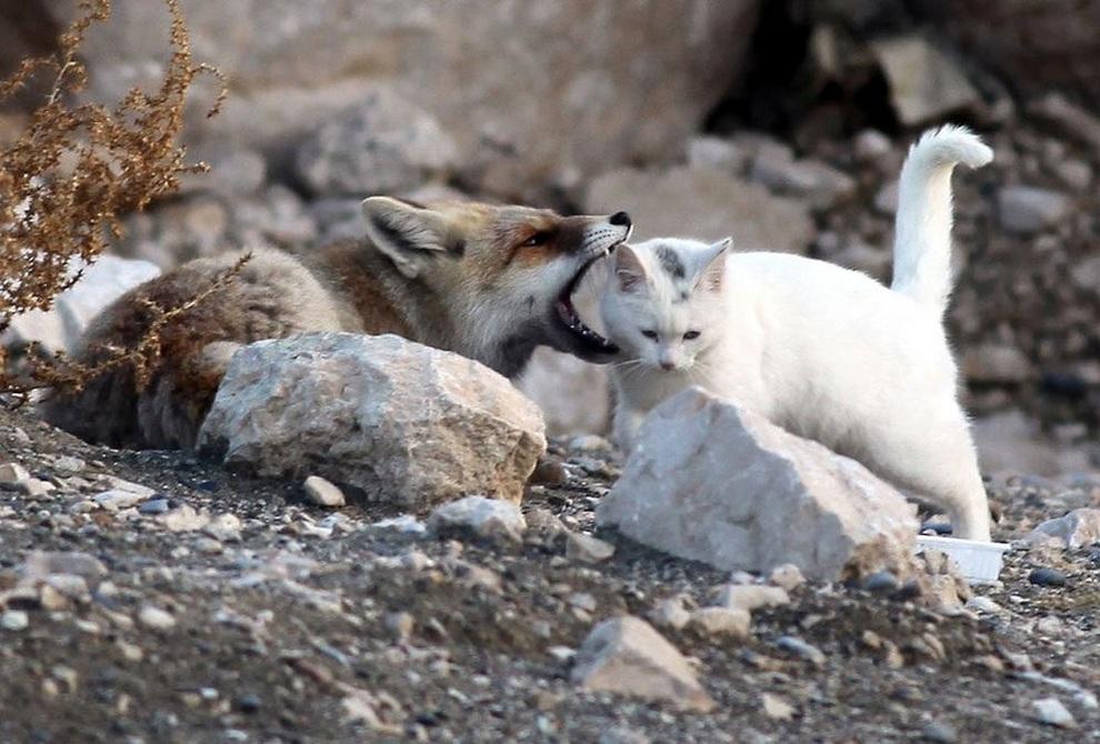 комфорте лисы с котятами картинки кресла