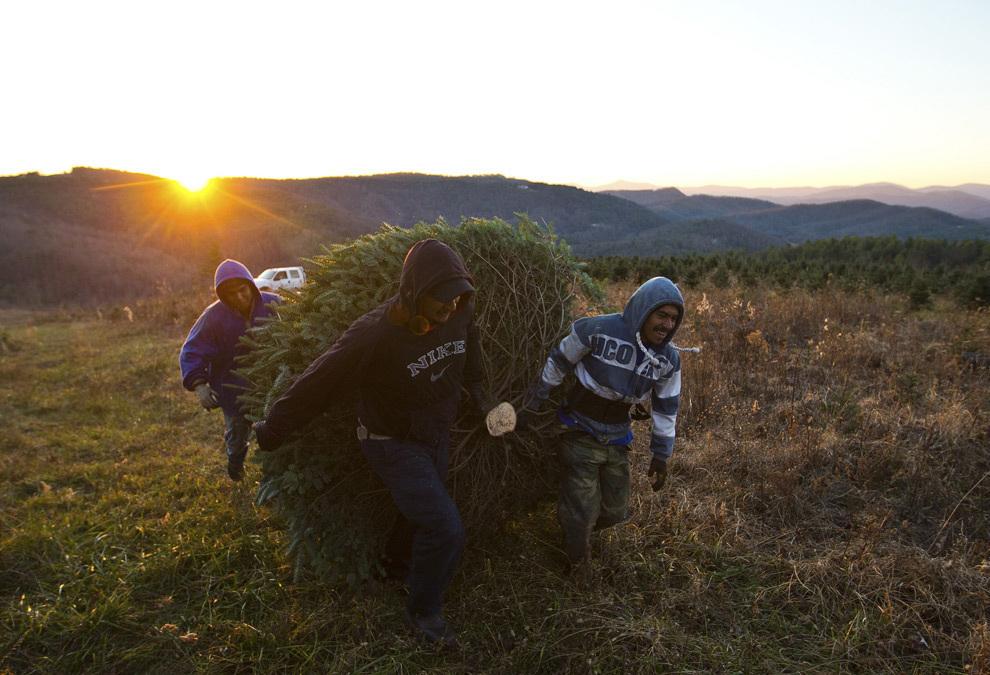 Рабочие тащат спиленное дерево к месту складирования. (REUTERS/Chris Keane)
