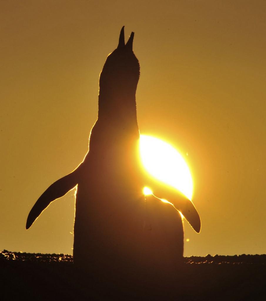Время выкармливания птенцов у магелланских пингвинов (6 фото)