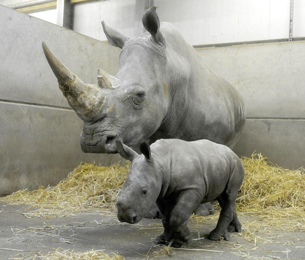 в дании носороги не водятся видео проблема