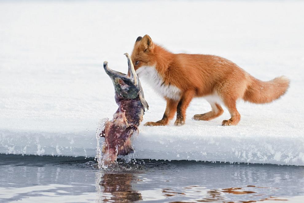 лиса на рыбалке картинки