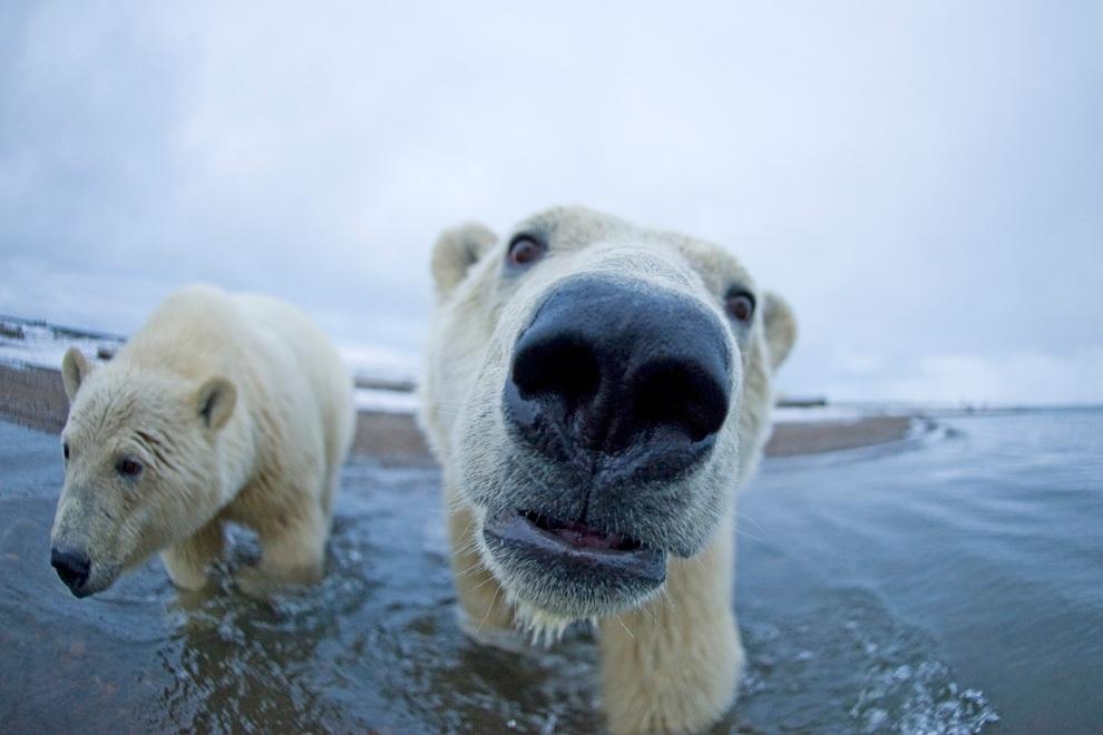 Любопытные белые медведи на Аляске (15 фото)