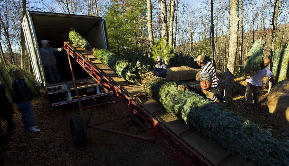 Как заготавливают елки в США