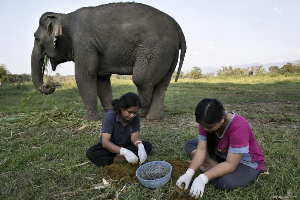 Жены собственника кофейных плантаций — Ньянг и Линда — собирают кофейные зерна, пропущенные через пищеварительный тракт слонов, Чиангсен, провинция Чианграй, Таиланд. (Paula Bronstein/Getty Images)