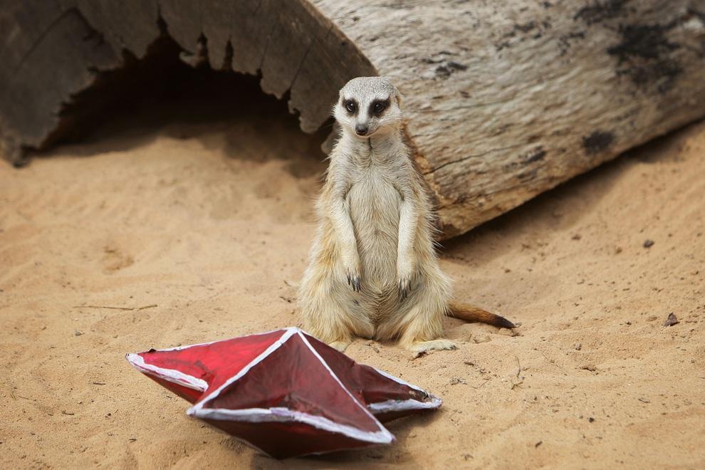 В зоопарке Таронга раздали новогодние подарки (13 фото)