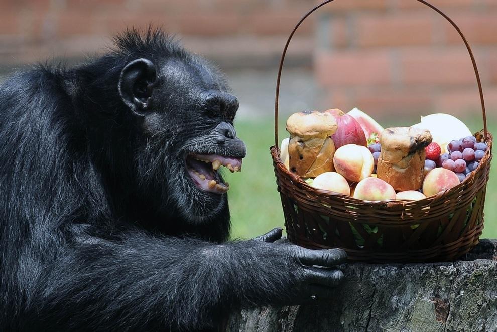 Шимпанзе по кличке Йоко радостно разглядывает свою новогоднюю корзинку с подарками, Рио-де-Жанейро, Бразилия. (VANDERLEI ALMEIDA/AFP/Getty Images)