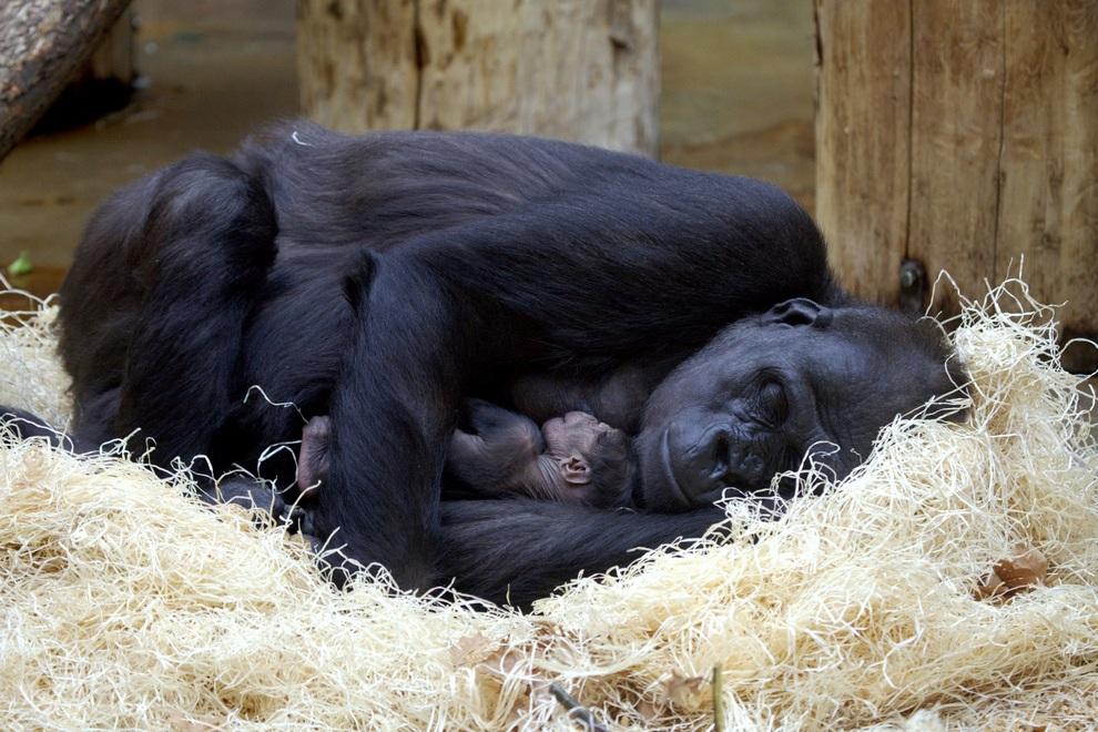 Горилла Кидживу спит с малышом, не отпуская его из рук, Прага, Чехия. (Miroslav Bobek/Zoo Praha)