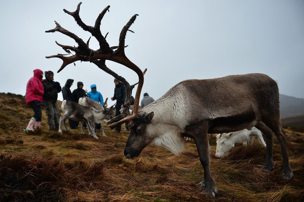 Cairngorm Reindeer Herd. (Jeff J Mitchell/Getty Images)