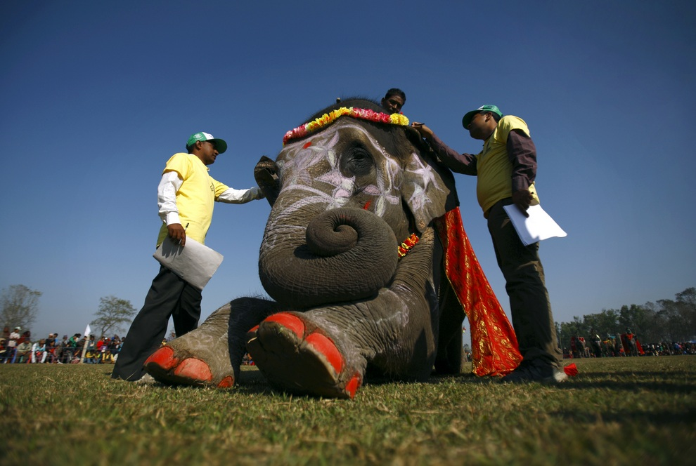 Судьи оценивают «участницу» конкурса красоты среди слонов в Национальном парке Читван, Непал. (REUTERS/Navesh Chitrakar)