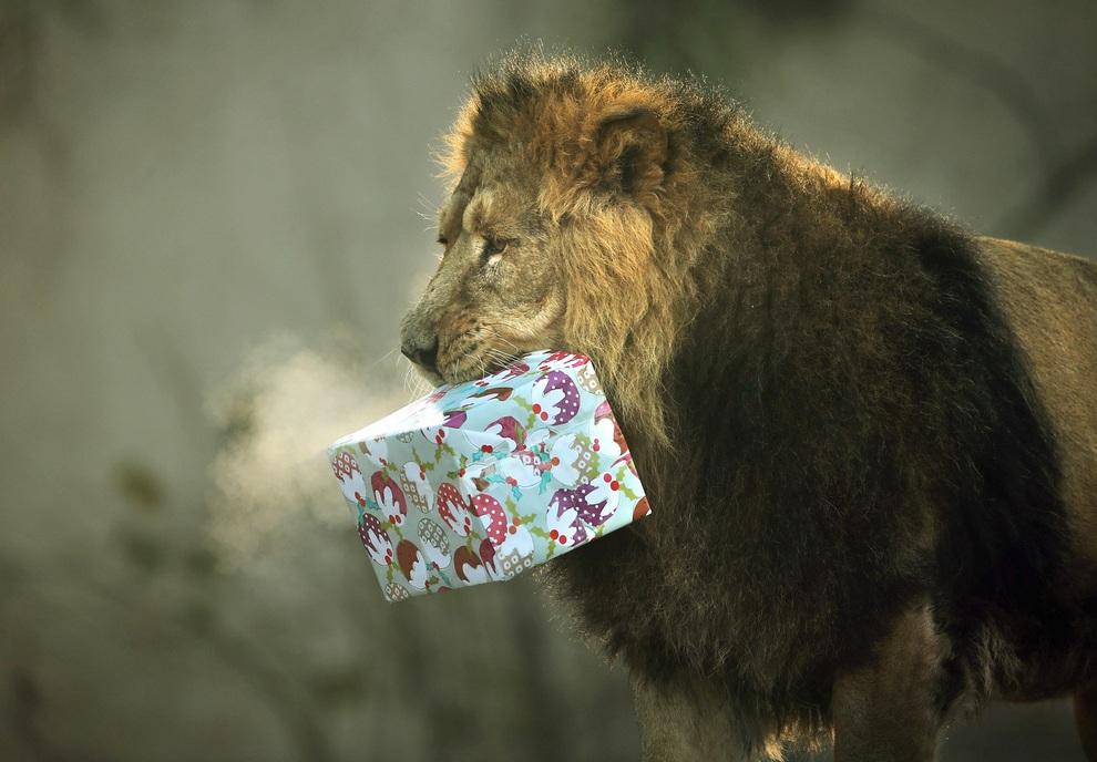 Подарить львов картинки что там