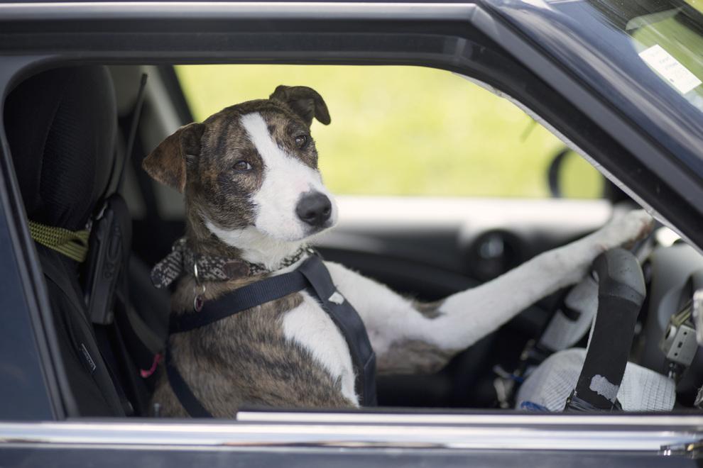 В Новой Зеландии бездомные собаки научились водить автомобили (10 фото + 2 видео)