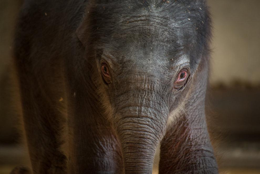 Выбираем имя азиатскому слонёнку! (9 фото)