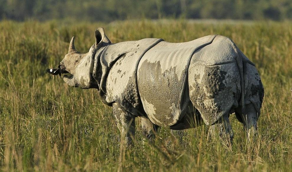 Казиранга — бастион защиты индийских носорогов (4 фото)