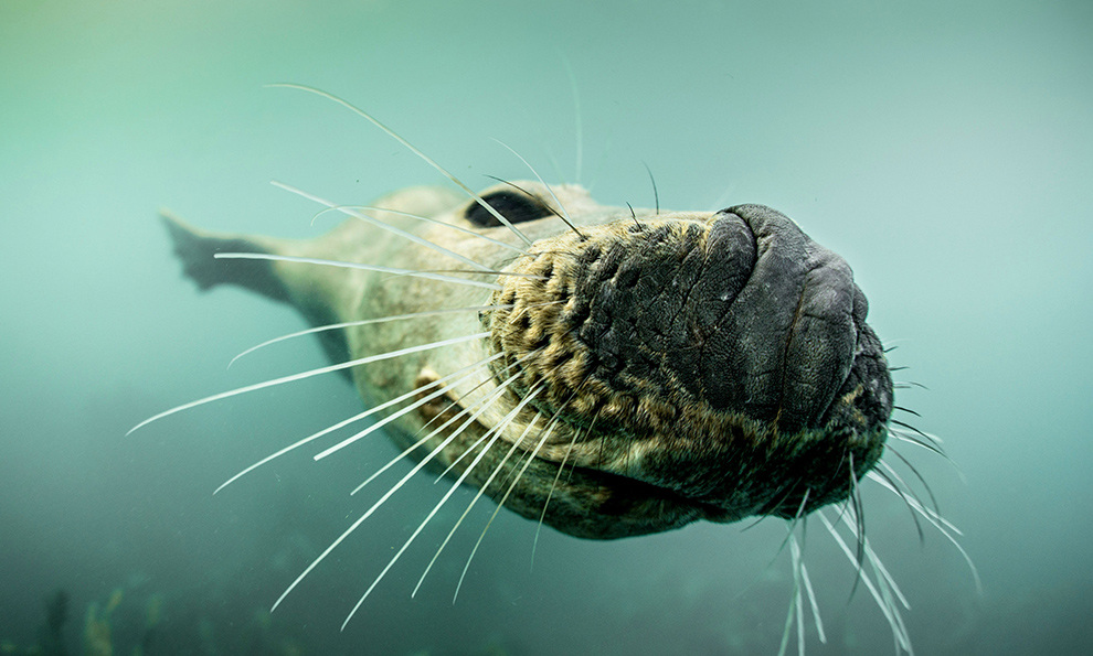 Тюлени в воде крупным планом (11 фото)