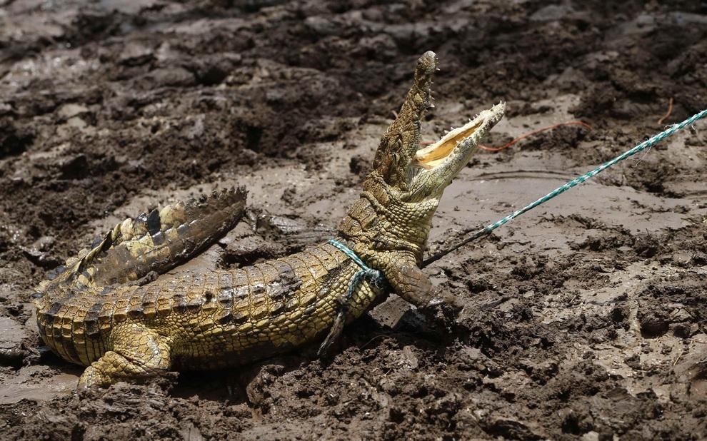 Нашествие крокодилов в реке Лимпопо (7 фото)
