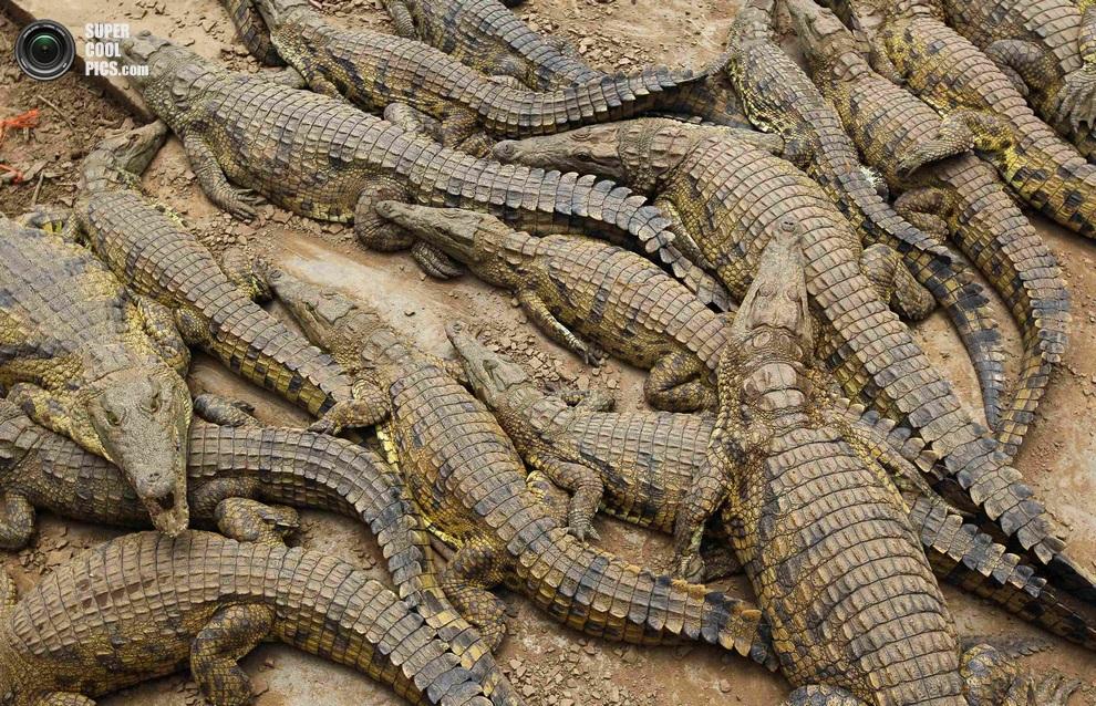 Нашествие крокодилов в реке Лимпопо Supercoolpics_02_30012013190100