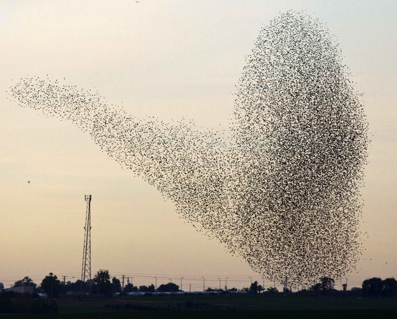 A flock of starlings fly over an agricultural field near the southern Israeli city of Netivot