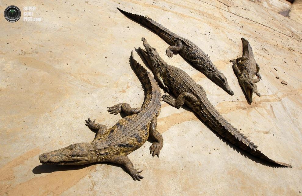 Нашествие крокодилов в реке Лимпопо Supercoolpics_07_30012013190114