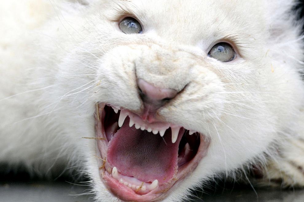 Белые львята и тигрята