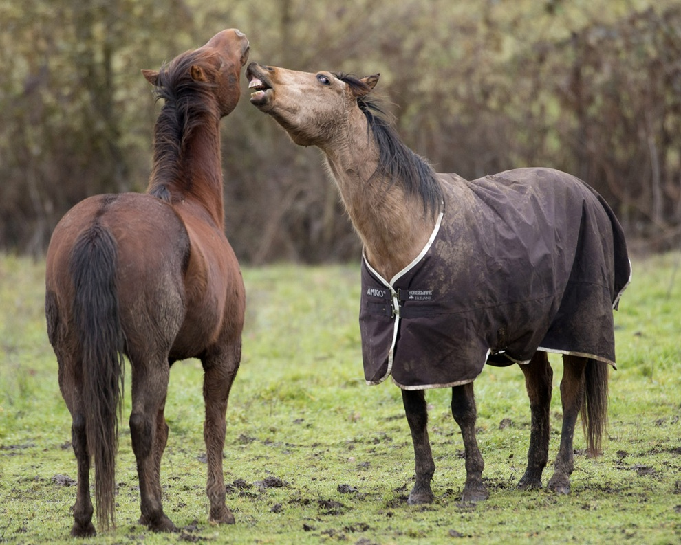 Игривые лошади на пастбище