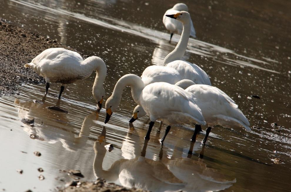 Японский «курорт» для сибирских лебедей (10 фото)