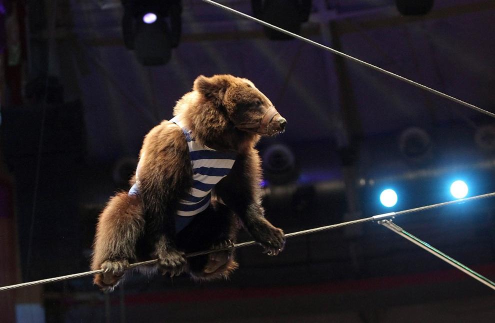 Медведи-канатоходцы в цирке на Фонтанке (7 фото)