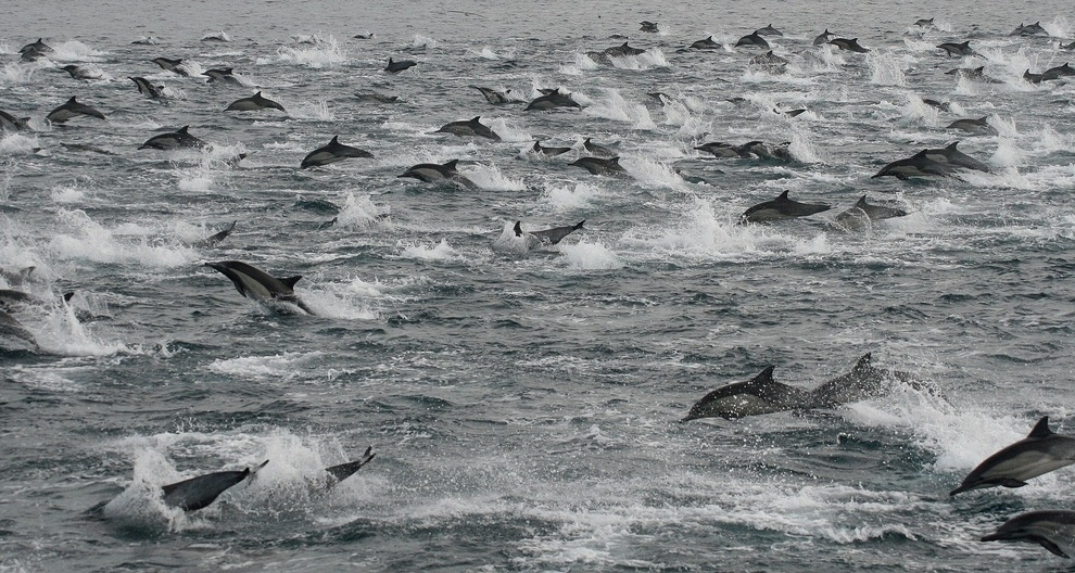 Вечеринка дельфинов у берегов Сан-Диего (2 фото + 2 видео)