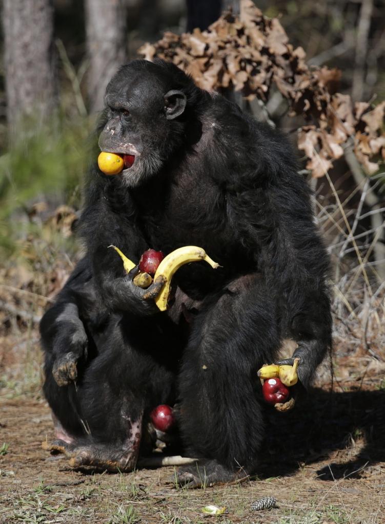 Убежище лабораторных шимпанзе (15 фото)