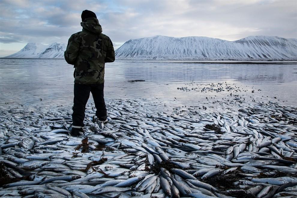 Исландия потеряла десятки тысяч тонн сельди (3 фото + видео)