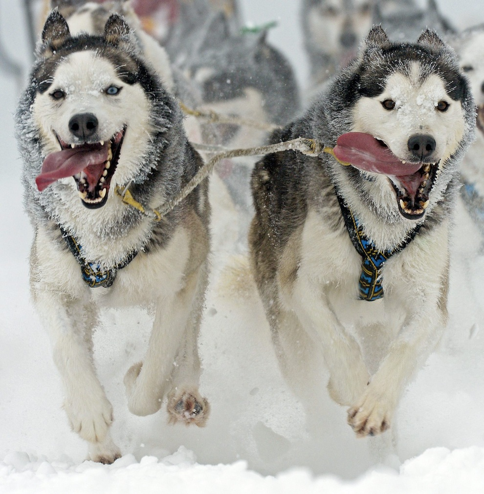 23-и Международные гонки на собачьих упряжках в Оберхофе (7 фото)