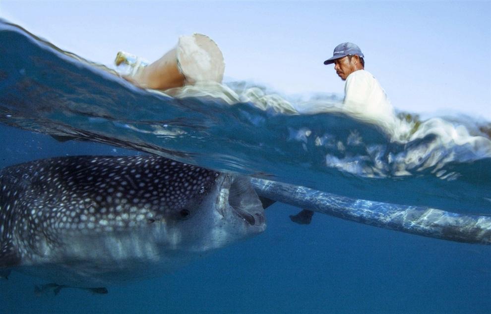 Кормление китовых акул