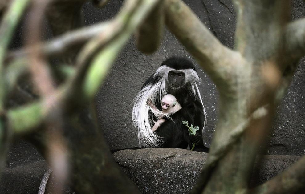 В Брукфилдском зоопарке родился ангольский колобус (4 фото)