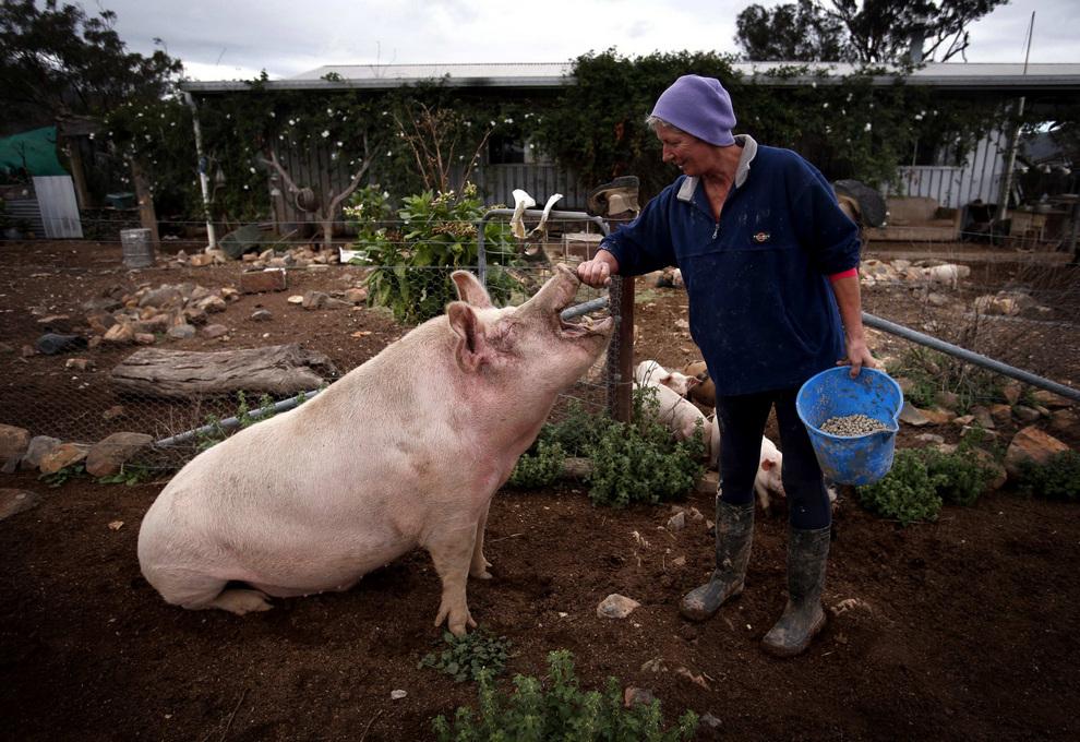 «Пигсвиль» — рай для свиней (7 фото)