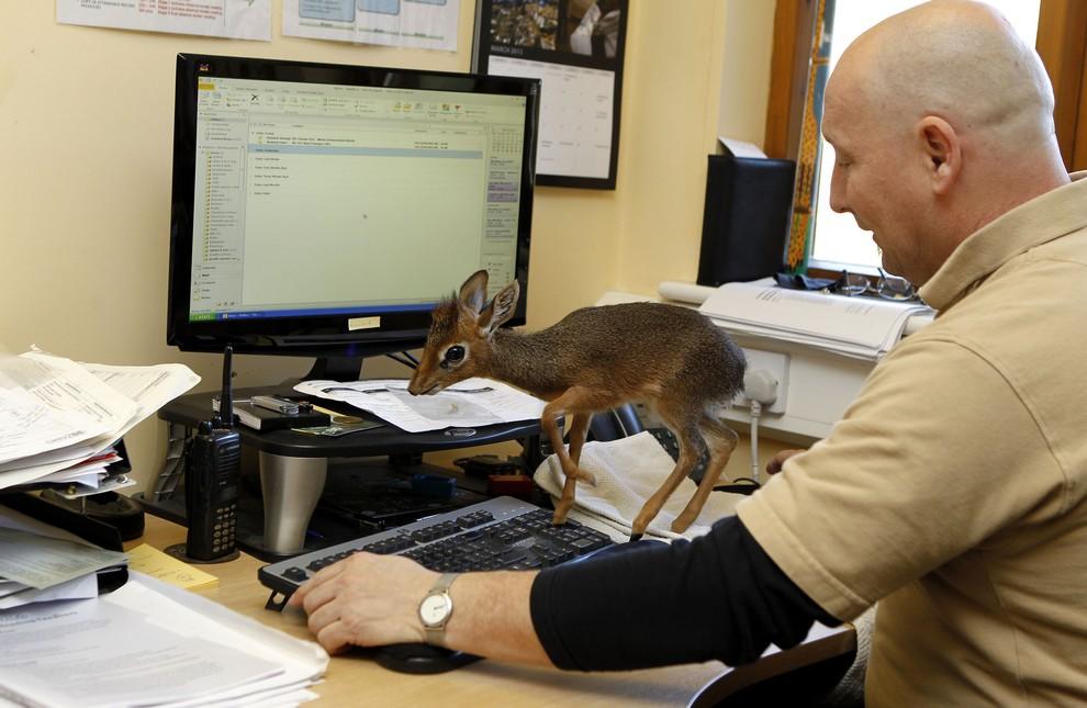 Уход за 20-сантиметровой антилопой (6 фото)