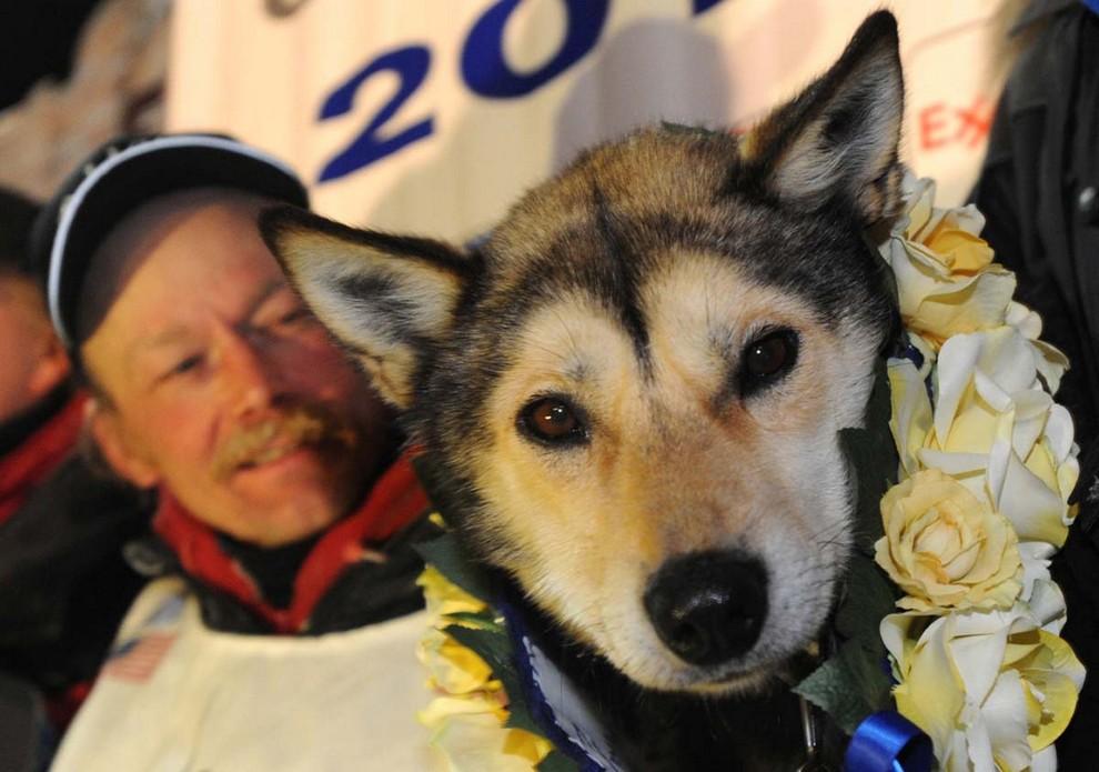 Митч Сиви — победитель гонки на упряжках «Идитарод-2013» (5 фото)